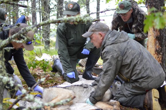 Michigan Department of Natural Resources wildlife technician Brad Johnson, right, and Nick Fowler, graduate research assistant with the State University of New York's College of Environmental Science and Forestry take measurements of a gray wolf captured Sept. 6, 2019 in Michigan's Upper Peninsula. Looking on are National Park Service veterinarian Michelle Verant and Michigan DNR veterinary specialist Dan O'Brien.